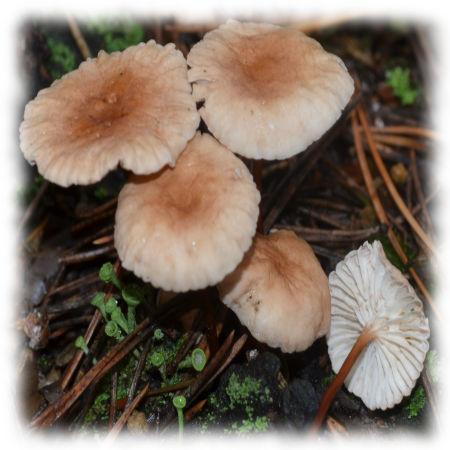 Чесночник - Marasmius scorodonius