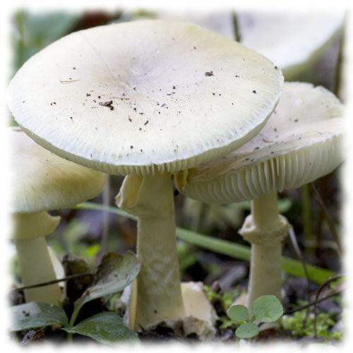 Бледная поганка - Amanita phalloides