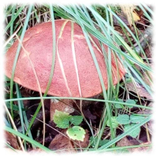 Подосиновик в траве