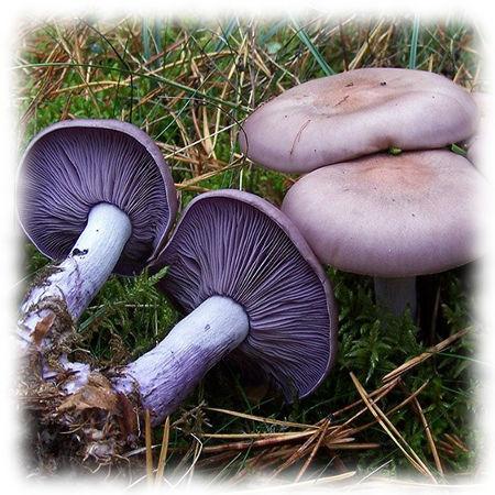 Рядовка фиолетовая - Tricholoma undum