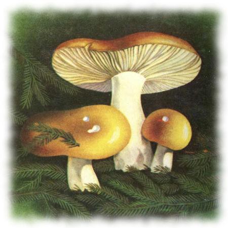 Сыроежка охристая - Russula achroleuca (Pers.) Fr.