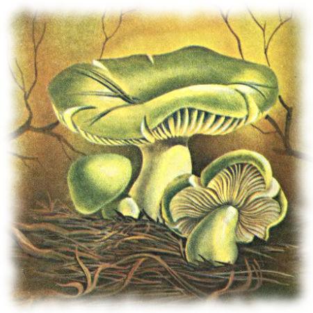 Гриб зеленушка, зеленка